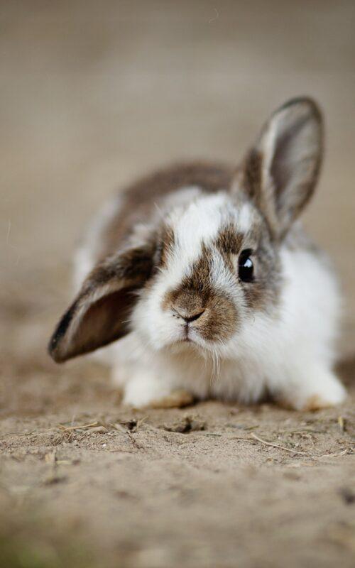 rabbit-4890861_1920